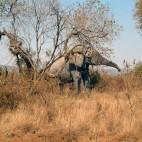 <B>On Safari:</B> Water for Elephants