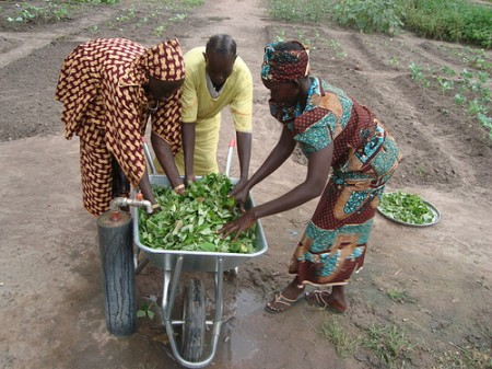 Women harvesting food